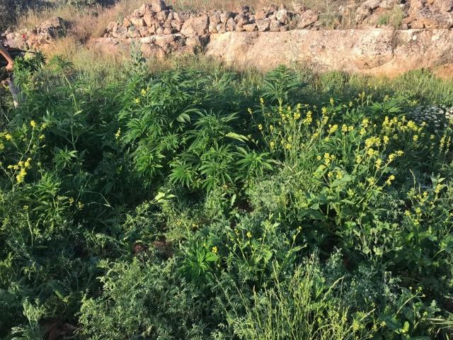 Valilikten yapılan açıklamada, 22 Mayıs'ta İl Jandarma Komutanlığınca Midyat ilçesinde yapılan istihbarı çalışmalar neticesinde bin 264 kök Hint keneviri bitkisinin ele geçirildiği bildirildi.