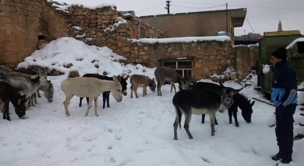 Midyat Belediyesi Sokak Eşeklerine sahip çıktı