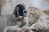 Silopi'de yaralı köpeğe belediye sahip çıktı