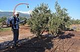 İslahiye'de zeytin hasadı başladı