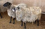 Ukrayna'dan getirilen 50 koyundan 200 yavru dünyaya geldi