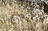 Şırnak'ta 2 bin kınalı keklik doğaya bırakıldı