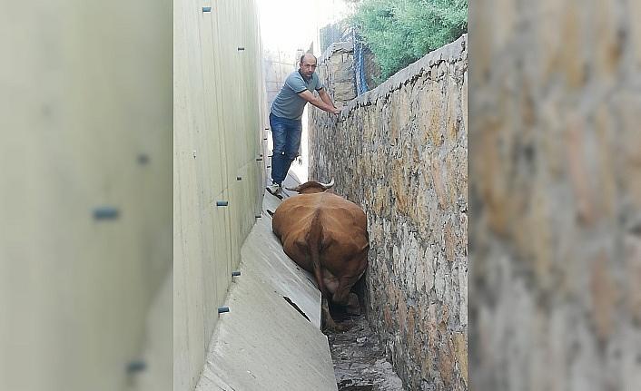 İki duvar arasına sıkışan ineği itfaiye kurtardı