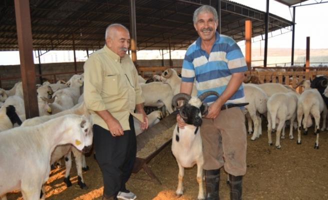 Gaziantep'te 5 boynuzlu koç ilgi görüyor