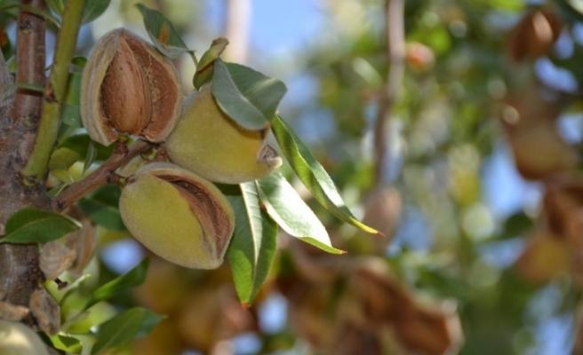 Badem diyarı Adıyaman'da hasat sürüyor