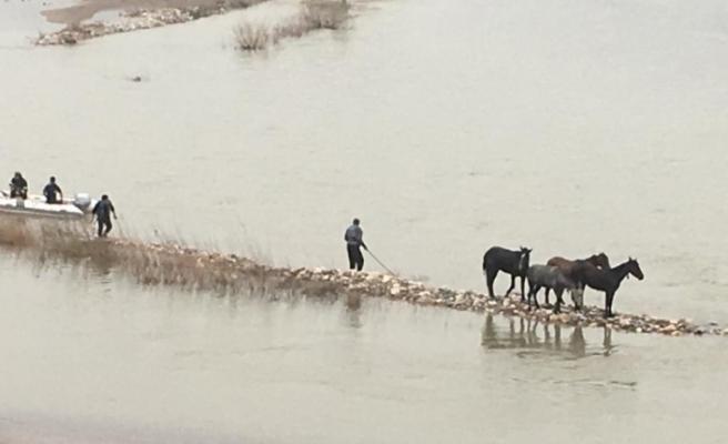 Nehirde mahsur kalan 4 at kurtarıldı