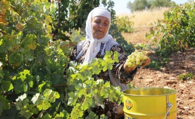 Mardin'de bağ bozumu heyecanı
