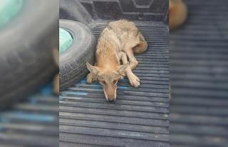 Gaziantep'te yaralı bulunan kurt tedavi altına alındı