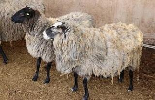 Ukrayna'dan getirilen 50 koyundan 200 yavru dünyaya...