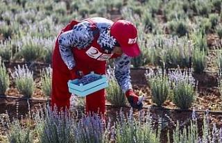 Suriye sınırında lavanta hasadı